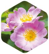 犬薔薇花瓣精華
