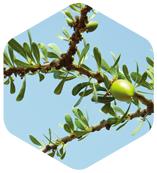 摩洛哥堅果葉