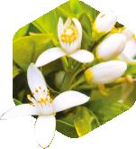 摩洛哥橙花