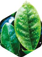 鹿兒島綠茶