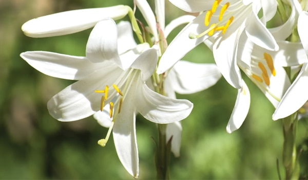 White Star Lily Extract & Lily Oil