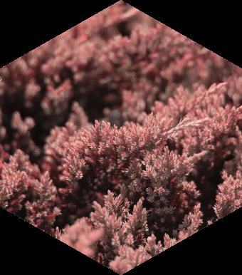 ピンクサンゴモ