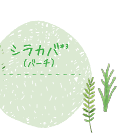 シラカバ*3(バーチ)