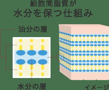 細胞間脂質が水分を保つ仕組み