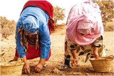 栽培堅果樹專用農地,精心摘採堅果果實